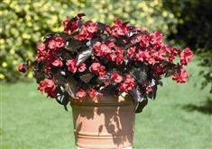 Begonia Big rouge